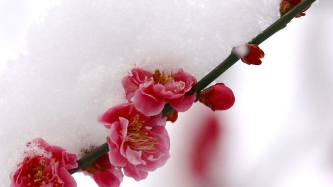 越冷越开花