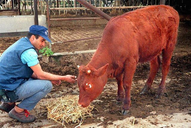 一头红母牛在以色列诞生-红母牛