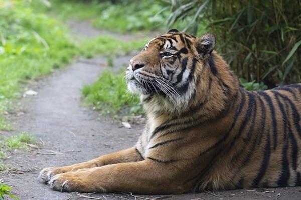 老虎,灵光,神虎-老虎