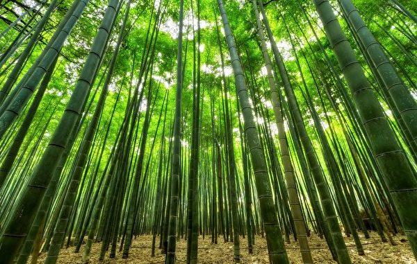 青竹被砍伐后还能再生