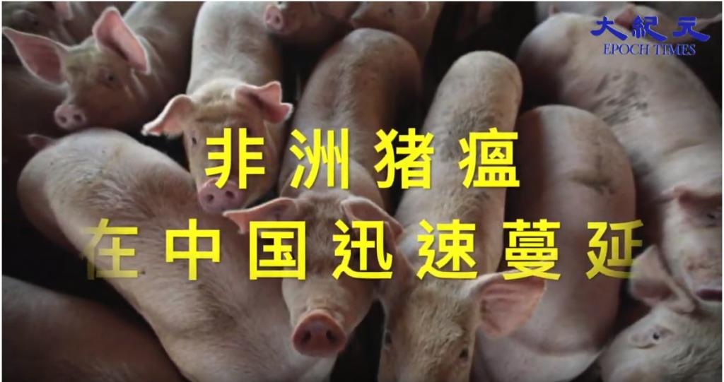 非洲猪瘟在中国迅速蔓延