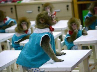 转基因猴子
