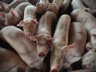 非洲猪瘟美国猪肉
