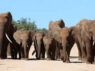 哀伤送别同伴的象群