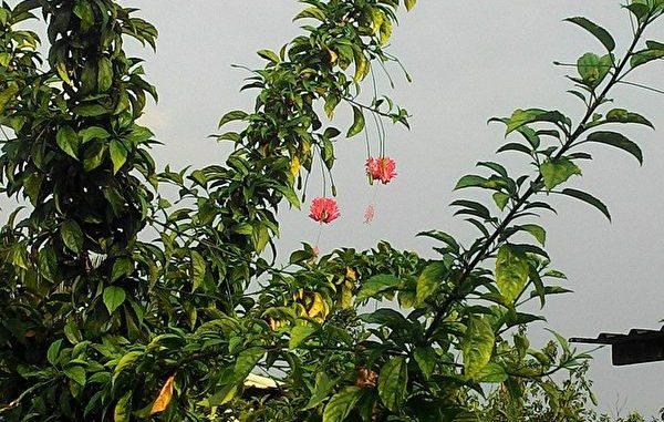 一盏盏垂挂的华丽红粉灯笼花