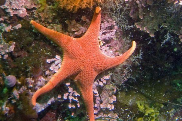 橙红色的朱砂海星。(示意图:Flickr/ Ed Bierman,CC BY 2.0)