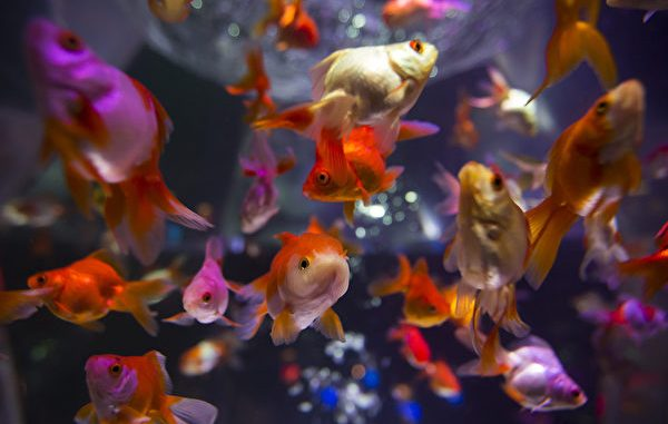 "Japanese Enjoy Goldfish Exhibition At ""Art Aquarium"" In Tokyo"