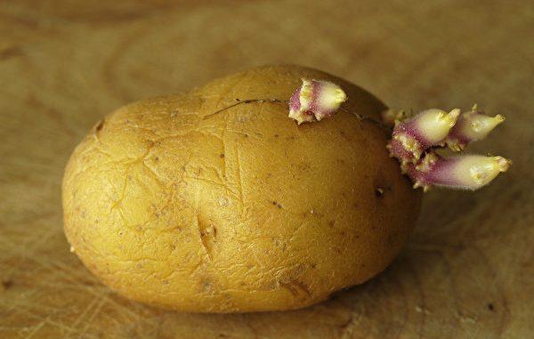 食物发芽 马铃薯