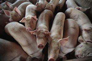 非洲猪瘟, 猪饲料, 乳清, 鱼粉, 贸易战