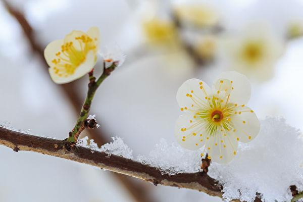 梅开在百花之先